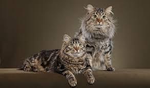 bobtail cat american bobtail cat breed information