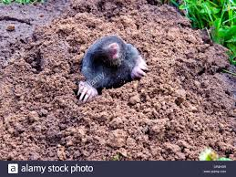 100+ [ Moles In Backyard ] | Southern Mole Cricket Vol 3 No 16 ... How To Get Rid Of Moles Organic Gardening Blog Cat Captures Mole In My Neighbors Backyard Youtube Animal Wikipedia Identify And In The Garden Or Yard Daily Home Renovation Tips Vs The Part 1 Damaging Our Lawn When Are Most Active Dec 2017 Uerstanding Their Behavior Mole Gassing Pests Get Correct Remedy Liftyles Sonic Molechaser Alinum Covers 11250 Sq Ft Model 7900
