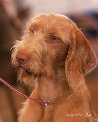 Vizsla Dog Breed Shedding by Vizsla Wirehaired Breed Information History Health Pictures