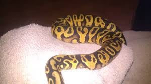 Ball Python Shedding Signs by My Ball Pythons Tropical Fish Forums