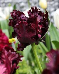 tulip black parrot quality flower bulbs youtulip co uk