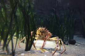 Decorator Crab Tank Mates by Reef Tank Janitors Part 2 Shrimps True Crabs And Sea Urchins