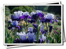 156 best rebloooming iris images on bearded iris iris