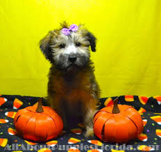 Do Wheaten Terrier Puppies Shed by Breeds We Carry U2014 All About Puppies