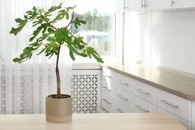 feigenbaum im topf alles zum pflanzen pflegen plantura