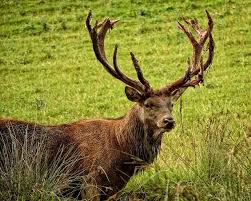 when do deer shed their antlers and how do they shed outdoorever