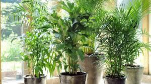 plantes vertes d interieur allergies aux plantes d intérieur de maison label allergènes