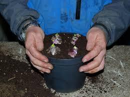 bulbs care guide burncoose nurseries