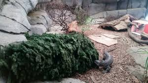 Christmas Tree Amazon Local by Leftover Christmas Trees Are Treats For Zoo Animals