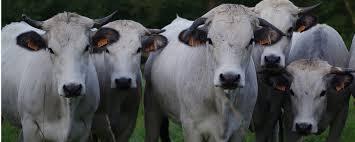 chambre d agriculture ariege bovins viande chambre d agriculture de l ariege