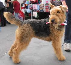 Do Airedale Puppies Shed by Airedale Terrier Airedale Dog Breed Guide Information And Pictures