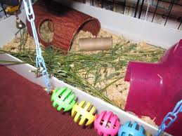 Pine Bedding For Guinea Pigs by How To Potty Or Litter Box Train Your Guinea Pigs Pethelpful