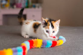 kitty cat kittycat kittycat cat community for cat kitten