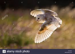 Flying Barn Owl, Backlit In Evening Sunlight Stock Photo, Royalty ... Barn Owl Tyto Alba 4 Months Old Flying Stock Photo Image Beauty Of Bird Our Barn Owl The Tea Rooms Chat Rspb Community A Flying At Folly Farm In Pembrokeshire West Wales Winter Spirit By Hontor On Deviantart Audubon Field Guide Vector 380339767 Shutterstock Wallpaper 12x800 Hunting A Royalty Free Tattoos Tattoo Ideas Proyectos Que Debo Ientar
