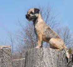 Border Terrier Non Shedding by Dog Breed List B All Dog Breeds Beginning With The Letter B