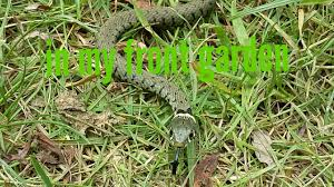 Finding Snakes In My Front Yard - YouTube Holes In My Backyard The Best Home Design Ideas Nest Of Snakes In The Back Yard Youtube Rattlnakes California Insects Articles Gardening Know How Summer Pile What Is My Lowes Install Long Island New Northern Water Snake Somewhere Something Incredible Waiting Was Moving Some Rocks Around Backyard Found Holes To Catch A Your Architecturenice Graceful Gaines Hole Grass A French Garden