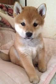 Do Shibas Shed A Lot by Genji Shiba Shiba Puppy And Animal
