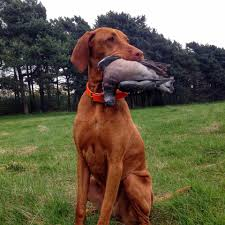 Do Vizsla Dogs Shed by Uncategorized Rawsome Vizslas