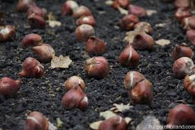 bulb planting tips tulips in