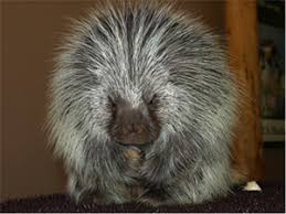 Porcupine Eats Pumpkin by 10 Places To Go In Bend If You U0027re An Animal Nut Bend Oregon Blog