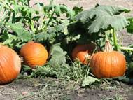 Big Orange Pumpkin Patch Celina Texas by Pumpkin Patches