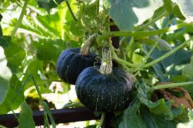 Keep Pumpkins From Rotting On Vine by How To Ensure Your Pumpkin Produces Fruit To Harvest