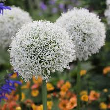 buy ornamental bulb allium stipitatum mount everest
