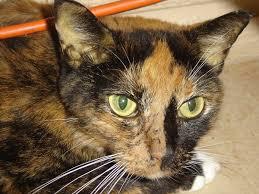 fatty liver cats feline hepatic lipidosis