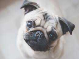 Do Pugs And Puggles Shed by 5 Things About Pugs That Don T Shed You Have To Experience It