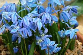 view the rhs top 10 blue flower bulbs with agm status rhs gardening