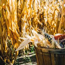 Shady Lane Farm Pumpkin Patch by Harvestmoon Farm Masaryktown Fl
