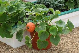 Natural Fertilizer For Pumpkins by Growing Pumpkins In Containers How To Grow Pumpkins In Pots
