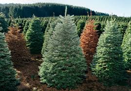 Fresh Christmas Trees Types by Home Depot Fresh Cut Christmas Trees Christmas Lights Decoration