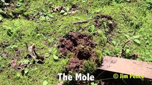 My Backyard. The Mole! - YouTube How To Get Rid Of Moles Organic Gardening Blog Cat Captures Mole In My Neighbors Backyard Youtube Animal Wikipedia Identify And In The Garden Or Yard Daily Home Renovation Tips Vs The Part 1 Damaging Our Lawn When Are Most Active Dec 2017 Uerstanding Their Behavior Mole Gassing Pests Get Correct Remedy Liftyles Sonic Molechaser Alinum Covers 11250 Sq Ft Model 7900
