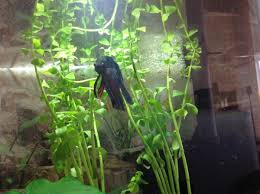 bacopa growth experiment betta fish and betta fish care
