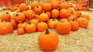 Pumpkin Patch Irvine University by Ultimate Hb Pumpkin Guide Best Oc Pumpkin Patches And Carving Ideas