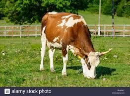 Cow Dairy Cattle Dairy Farm Cattle Holstein Cattle Grass Field