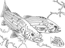 Bass Fish Chasing Little Colouring Page
