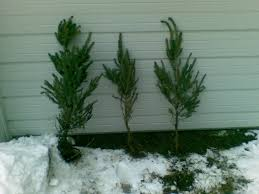 Christmas Tree Seedlings Wholesale by Blue Spruce Trees For Sale
