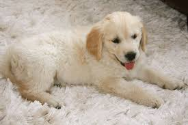 Dog Hair Carpet Removal by Pet Hair Cleaning Carpet Cleaning Sunnyvale Ca