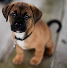 do pugs and puggles shed puggle designer breed pug beagle mix information and images