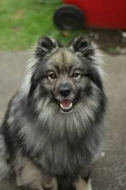 Dogs That Dont Shed Keeshond by The Best Dog Breeds For Families With Children Media