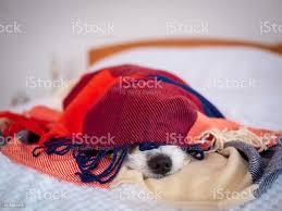 hund unter einer decke liegend im schlafzimmer stock photo image now