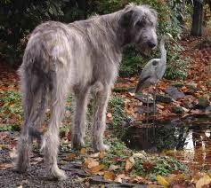 Irish Wolfhound Non Shedding by Hounds List Of All Hound Dog Breeds K9 Research Lab