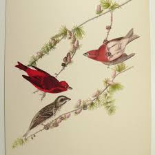 Purple Finch 1940s Vintage Bird Print Antique Color Audubon Ornithology