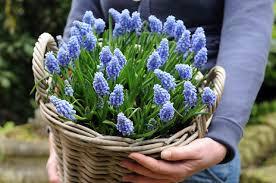 muscari grape hyacinth