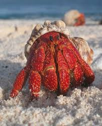 Halloween Hermit Crab by Different Types Of Crab With Pictures Owlcation