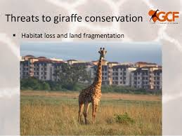 Threats To Giraffe Conservation Poaching And Snaring