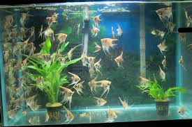 Aquariums My angelfish family AnandTech Forums