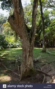 100 Pau Brazil Caesalpinia Echinata Fabaceae Family Rio De